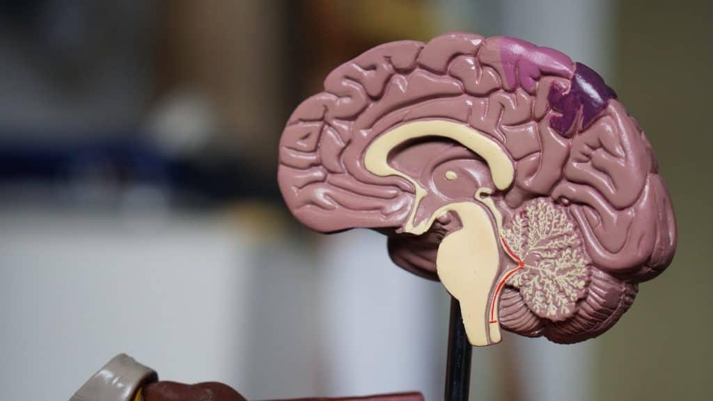 Medical model of a brain.