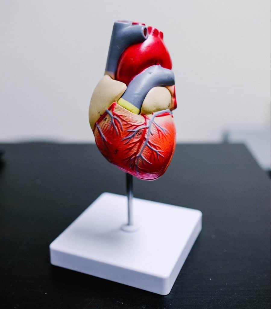 Realistic model of a human heart.